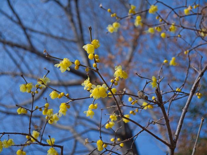 科名:ロウバイ科 開花期:12~2月 分類:落葉低木 ロウバイは、梅よりも早く香りのよい花を咲かせる落葉低木です。ロウバイの花色はクリーム色で、花の表面はロウでコーティングしたかのような質感が特徴です。ロウバイの花には優しい芳香があります。