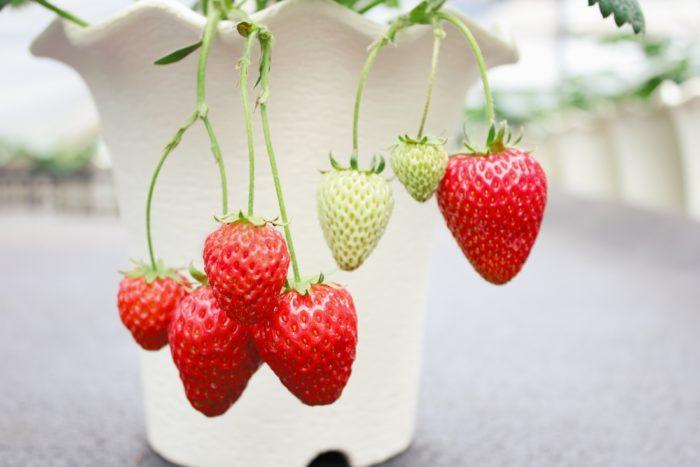 ・四季なりなのにおいしさ抜群! ・パティシエも納得の「上質な」甘さ  ・春~秋まで長く収穫可能!