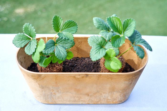 ②イチゴの生長点でもあるクラウン(根元にある葉の付け根部分)を埋めないようにして、浅植えにして土をかぶせていきます。