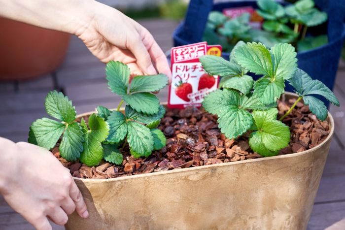 今回LOVEGREEN STOREでも販売するイチゴ苗セットは、LOVEGREEN編集部でも育てる予定!「苗がいま、こんな状態だけど合っているのかな?」と不安になったら、LOVEGREENのインスタグラムを見に来てくださいね!  皆さんのイチゴの様子も教えてください!  LOVEGREEN Instagram>>  皆さんのご自宅で育てている本気野菜のイチゴも、ぜひインスタグラムに投稿してみてくださいね!一人で育てると不安でも、みんなで一緒に育てれば怖くない!秋のイチゴ栽培を、みんなで楽しみましょう!  「#本気野菜イチゴ」のハッシュタグをつけていただければ、編集部も見に行きますよ~