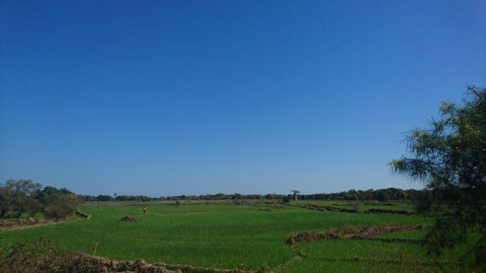 そして悪路を走り続け約2時間で田んぼが見えてくる。スマホの写真で見にくいかとは思うが、その向こうにバオバブが写っている。これは田んぼにバオバブが植わっているのではなく、バオバブのある所に、村人が田んぼを作ったのである。とても不思議な光景とも言える。