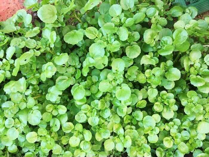 収穫が早い野菜でも紹介しましたが、クレソンは日当たりの良い窓辺など、室内でも栽培できます。クレソンはきれいなグリーンの葉茎と独特の風味が特徴の野菜です。水が好きな野菜なので、水耕栽培でも育てられます。