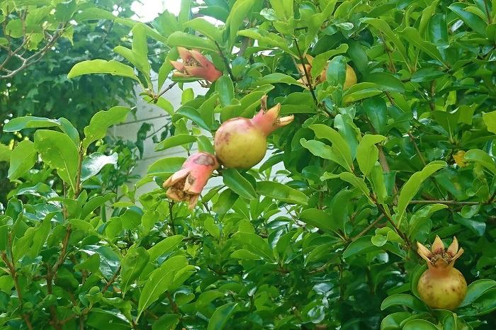 花期:6月~7月 収穫期:9月~10月 樹高:3m~5m ザクロは秋に熟す果実が印象的な落葉樹です。柘榴の果実は熟すと果皮がはじけ、中から宝石のような赤紫色の果肉が現れます。ザクロの果実は水分が多く甘く、生食できます。