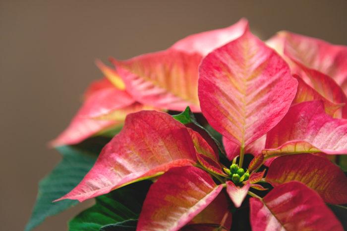 赤く色づいた花に見える部分は「苞(ホウ)」と呼ばれ、実はお花ではありません。では花は?というと、苞の中央に小さく集まった黄色い部分が花になります。