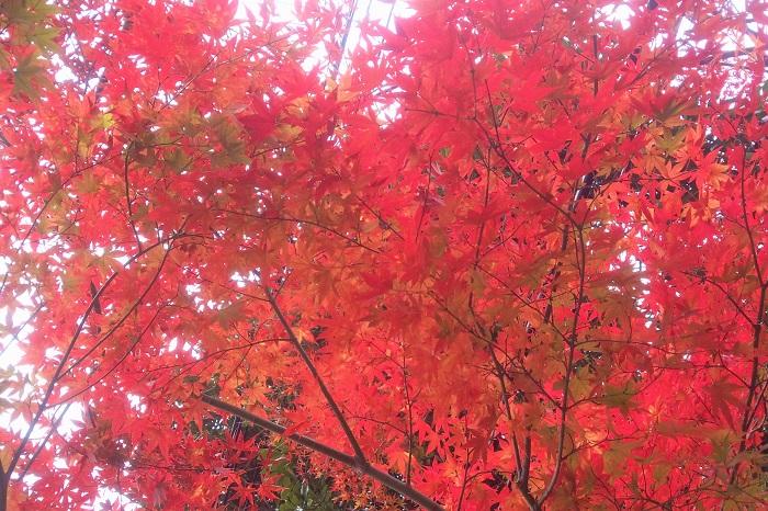 花期:4月~5月 樹高:5m以上 イロハモミジは夏の緑の葉と秋に真赤に紅葉する様子が美しい落葉樹です。春には誰にも気づかれないくらい小さな赤い花を咲かせます。