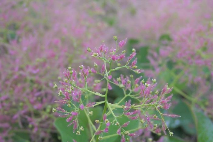 花期:5月~8月 樹高:5m~10m スモークツリーは名前の通りふんわりと煙ったような花を咲かせる落葉樹です。羽毛のようにふわふわとした花が特徴的です。雨が降った後の花に残った水滴の光る姿はいつまででも眺めていたくなるような可愛らしさです。スモークツリーの花色はピンクの他、白のようなグリーンがあります。