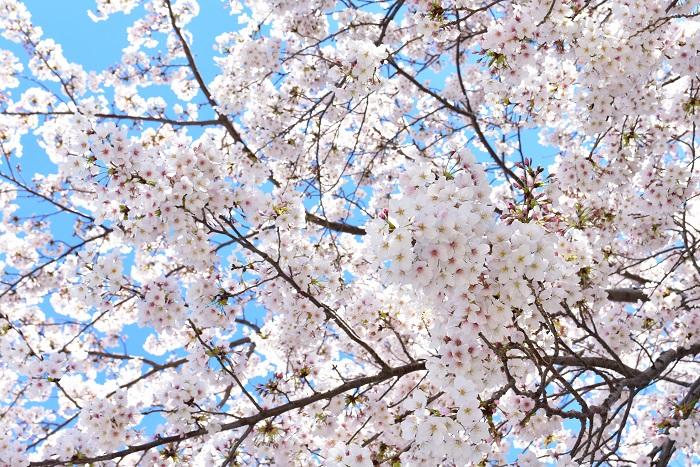 花期:2月~4月、10月 樹高:3m~10m 桜は日本の春の代名詞のような花です。海外でもSAKURAで通るくらい有名です。中でも3月~4月に開花するソメイヨシノは毎年開花予想をされるくらいの人気の花です。