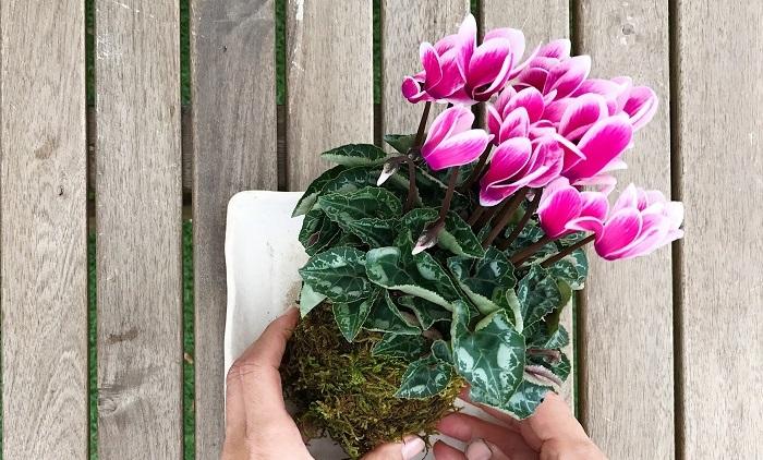 ガーデンシクラメンは庭植え、寄せ植え以外に苔玉を作って育てることもできます。丈夫で育てやすく、秋から春まで長い期間花を咲かせてくれる植物で、さらに上手に夏越ししたら毎年花を楽しむこともできます。ぜひ、お気に入りのガーデンシクラメンを育ててみてはいかがでしょうか。