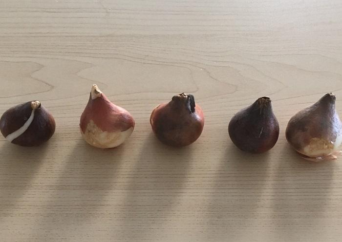 チューリップの球根は直径3~4cmくらいのものが多く、玉ねぎのような形をしています。球根の先はとがっていて、その先端から花茎や葉を伸ばします。交配種のチューリップの球根は植えた年はよく咲きますが、翌年以降は充実した花を咲かすことが難しいので毎年球根を購入するのが一般的です。