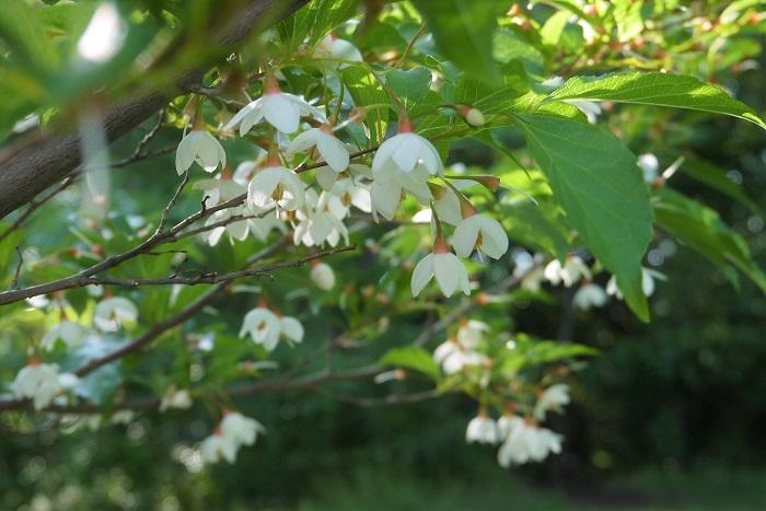 花期:5月~6月 樹高:7m~15m エゴノキは初夏に白い星形の花を咲かせる高木です。放っておくと10mを超すこともあります。華奢な枝ぶりや柔らかい葉が美しい落葉樹です。