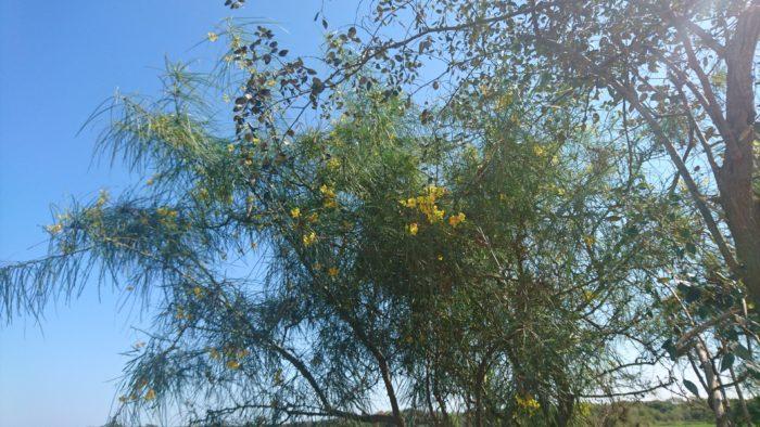 パーキンソニアはじめいくつかの花も見かけることができる。