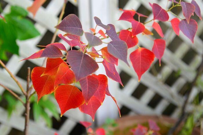 花期:6月~7月 樹高:10m ナンキンハゼは秋に真赤に紅葉する葉が美しい落葉樹です。秋には小さな実を付けます。この実のサヤがはじけて中の白い実が突出したものはドライフラワーとしても人気があります。