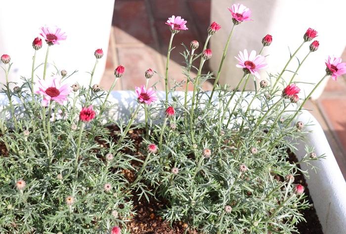 30.ローダンセマム  キク科 耐寒性多年草 観賞期:周年 開花期:3~6月 花色:白、ピンク、クリーム色 草丈:10~30㎝  ローダンセマムは、日なたと水はけの良い場所を好みます。シルバーグリーンの葉を持ち、マーガレットに似た花を咲かせます。寒さに強く、夏の暑さと蒸れを嫌います。夏越しを上手に行えると周年楽しむことができます。