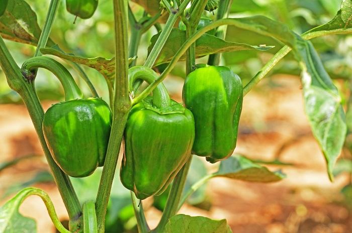 ピーマンは実はナス科の野菜です。さらにトウガラシの仲間でもあります。ピーマンの苗は若い頃はトウガラシの苗とよく似ています。混乱を避けるためにも近くに植え付けないように注意しましょう。