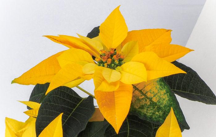 春は「ミモザの日」、夏はヒマワリと、各季節を象徴する植物にはなぜか黄色が多い・・・不思議ですね。黄色は「ビタミンカラー」といわれ、心に活力をみなぎらせてくれる元気色。季節の節目ごとに、人々にポジティブな気持ちにさせてくれるのが、黄色い植物が持つ力なのかもしれません。
