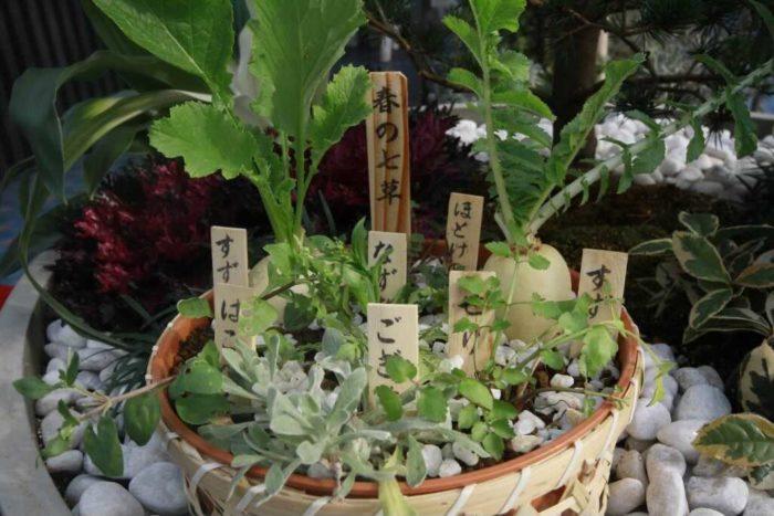 """""""写真は春の七草を寄せ植えにしてあるものです。七草はいずれも食用になる野菜や野草です。それに対して秋の七草は観賞用の草花です。写真は札から時計回りに、ホトケノザ、スズシロ、セリ、ゴギョウ、ハコベラ、スズナ、ナズナです。</p"""