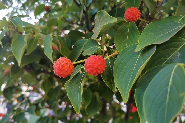 花期:6月~7月 収穫期:9月~10月 樹高:5m~15m ヤマボウシは初夏にハナミズキに似た花を咲かせる落葉樹です。常緑の品種もあります。ヤマボウシの果実は秋になると赤く熟し、その果実は生食できます。