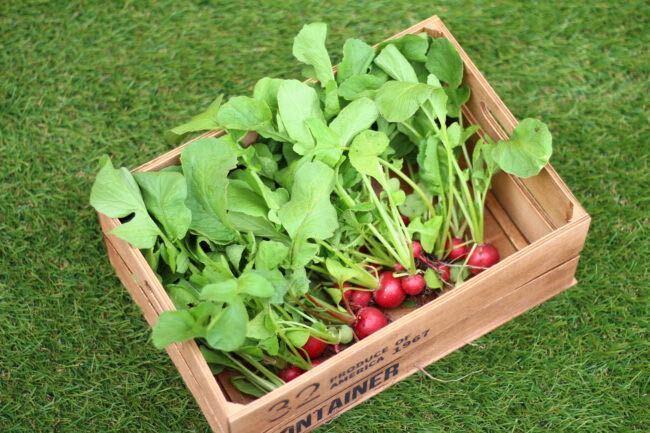 ラディッシュは真赤な色が可愛らしい、カブの仲間の根菜です。別名ハツカダイコンとも呼ばれるくらい、収穫までの期間が短いのが特徴です。