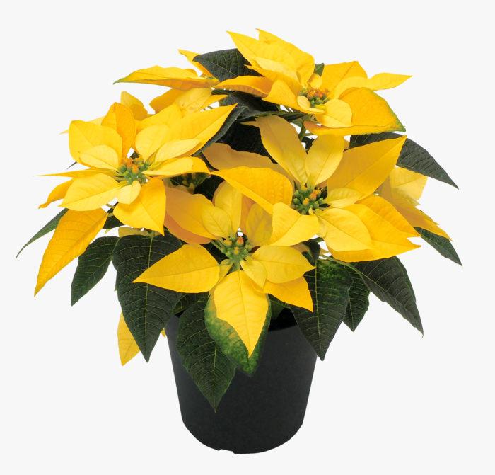 実際に飾ってみると実感するのですが、お部屋に一鉢でも華やかな鉢花や植物があると、驚くほど気持ちが明るくなります。これからは、クリスマスといえば「イエローポインセチア」が定番になるかもしれません。黄色いポインセチアを飾って、クリスマス、そして新しい年に向けてポジティブな気持ちを整えましょう!