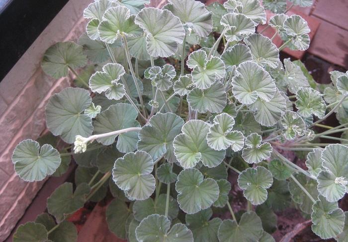 19.ペラルゴニウム・シドイデス フウロソウ科 半耐寒性多年草 観賞期:周年 開花期:3~10月 花色:黒赤 樹高:30~40㎝  ペラルゴニウム・シドイデスは、日なたから半日陰を好みます。シルバーグレーの丸い葉が美しく、長く伸びた花茎にシックな黒赤の小花を咲かせます。霜に気を付けて冬越しできると周年楽しめます。