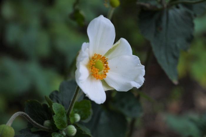 白やピンクのアネモネのような花が可愛いシュウメイギク。初秋から11月頃まで楽しめます。名前にキクとついていますが、キク科ではなくキンポウゲ科の草花です。