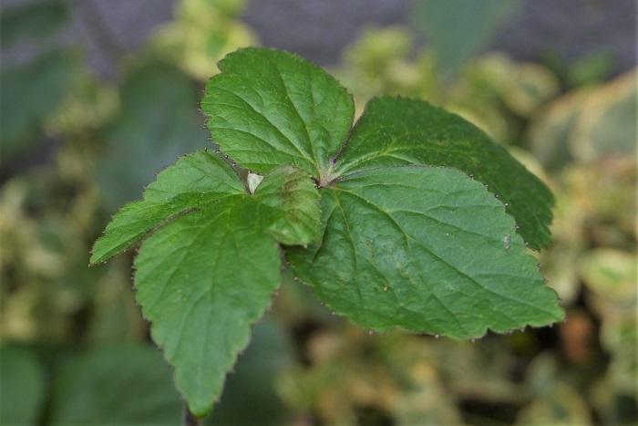 シュウメイギク(秋明菊)の葉は根出葉と言い、地下茎から出ているので地面からいきなり葉が生えているように見えます。上の葉は大きく3裂し、互生しています。  シュウメイギク(秋明菊)は乾燥に弱く、葉の外側から茶色くなっていきます。土の表面が白っぽく乾燥してきたら早めに水やりをしましょう。枯れた葉は取り除き、水やりを忘れないようにしていれば、株ごと枯れてしまう心配はありません。葉が枯れたからと言って株ごとダメになってしまったわけではないので安心してください。
