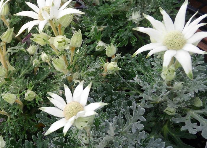 18.フランネルフラワー  セリ科 非耐寒性多年草 観賞期:周年 開花期:4~6月、9~11月 花色:白 樹高:30~100㎝  フランネルフラワーは日当たりの良い場所を好み、高温多湿が苦手です。長雨に当たると花や葉がいたむので、地植えの場合は軒下など雨の当たらない場所に植え、鉢植えは雨のかからない日なたに置いて管理します。寒さに弱く霜に当たると枯れてしまいます。室内に取り込んで冬越しすると周年楽しめます。
