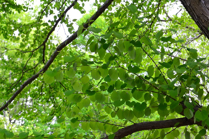 カツラはハート形の葉が可愛い落葉樹です。放っておくととても大きくなるので剪定をして樹高を管理します。自然樹形でも整いやすく、育てやすいのが特徴です。広いお庭向きのシンボルツリーにおすすめです。