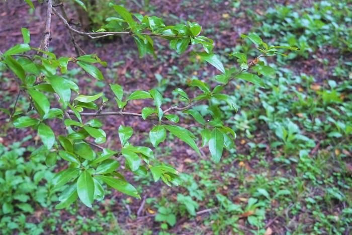 常緑樹は文字通り通年緑の葉を絶やさない樹木のことを言います。落葉樹と違って冬になっても緑の葉を繁らせていますが、落葉しないわけではありません。古くなった葉は新しい葉に役目を譲り、落葉していきます。  落葉樹と常緑樹の違いは、寒い季節には葉を落として休眠するのが落葉樹、冬でも緑の葉を絶やさないのが常緑樹です。