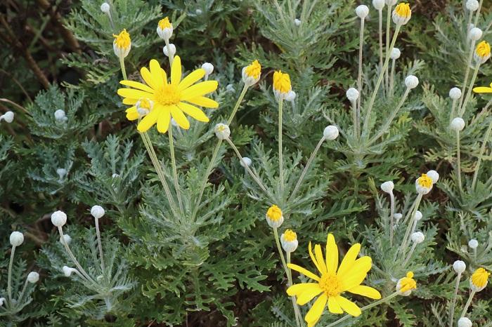 26.ユリオプスデージー キク科 半耐寒性常緑低木 観賞期:周年 開花期:11~5月 花色:黄 樹高:30~100㎝  ユリオプスデージーは日当たりと風通しの良い場所を好みます。銀白色の葉を持ち、秋から春にかけてマーガレットに似た黄色い可愛らしい花を咲かせます。強い霜に当たらないように冬越しできると周年楽しめます。