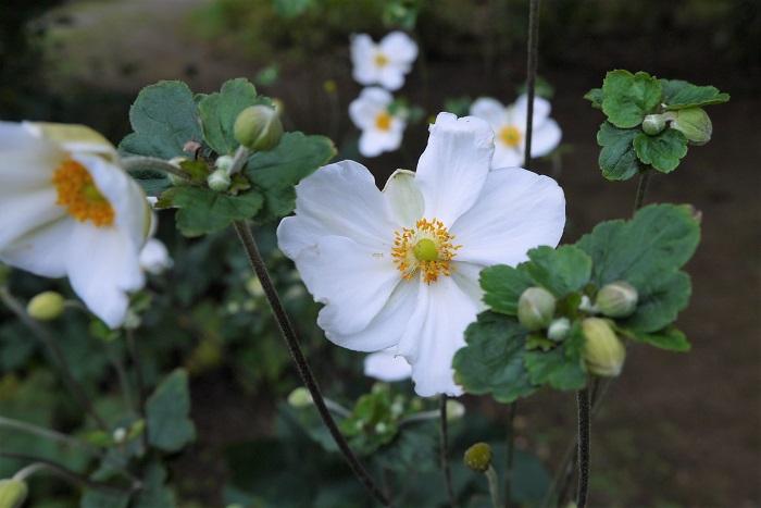 シュウメイギク(秋明菊)の花の特徴 シュウメイギク(秋明菊)は長く伸びた茎の先に、数本の花茎を伸ばしその先に、直径5㎝~7㎝の花を咲かせます。1本の茎から数輪の花を咲かせるため、花数も多く、群生する姿は見応えがあります。  シュウメイギク(秋明菊)の花色にはピンクや濃いピンク、白などがあります。野生種は濃いピンク色の八重咲きの花を咲かせます。現在流通している品種の多くは交配された園芸種で、一重咲きや八重咲きがあります。  シュウメイギク(秋明菊)の花びらのように見える部分は実は萼片です。八重咲きのシュウメイギク(秋明菊)は萼片と雄しべが変化したものだと言われています。