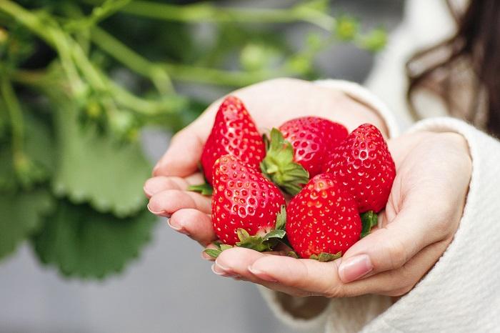 甘くて瑞々しいイチゴを自宅で育てて収穫しましょう。たくさん光合成をさせて立派なイチゴが実ったら、自宅でイチゴ狩りごっこもできます。