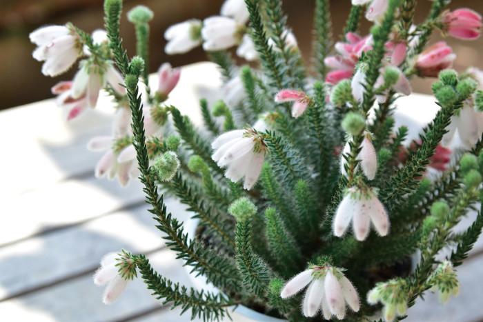 エリカもカルーナと同じ、寒さに強い常緑低木です。鉢植えではそれほど大きくならないので寄せ植えにも使えます。秋から春にかけての花の少ない季節に開花します。冬の寒い時期を得意とし、夏の高温多湿が苦手です。花色はピンク、白、黄色、赤と豊富で、スズランのような咲き方から、ラッパのように突き出すような咲き方のものまで様々あります。