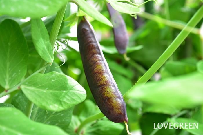 種まきから半年ほどたった頃の4月以降が収穫のスタートです。エンドウ(えんどう豆)の収穫は、実がぱんぱんに膨らんだ頃に収穫します。莢(さや)にしわが出はじめたころが目安です。