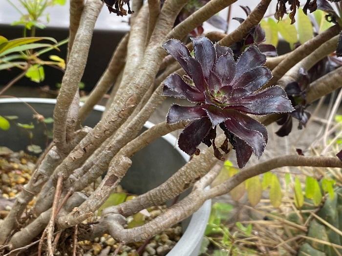 黒法師(クロホウシ)は、茎の上部にロゼット状の葉っぱを付け、まるで花が咲いているような株立ちで上に伸びて生長していきます。葉は太陽に向かって生長するので、その性質に合わせて、鉢の向きを変えたりすればカーブさせたりすることもできます。片側だけにしか太陽が当たらないと、写真のように傾いていきます。バランスよく仕立てたいのなら、適度に全体に太陽が当たるように育てましょう。