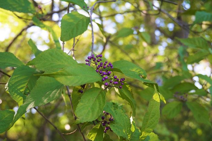花期:6月 樹高:2m~3m ムラサキシキブは秋に色付く紫色の実が美しい落葉樹です。華奢な枝を横に伸ばし、その先に紫色の実を付けます。秋には紅葉する葉も美しく、風情のある人気の庭木です。
