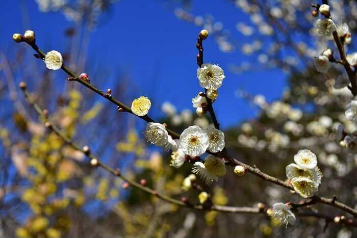 「梅(ウメ)」の花言葉は「不屈の精神」「高潔」。  紅梅の花言葉は「優美」。  白梅の花言葉は「気品」。