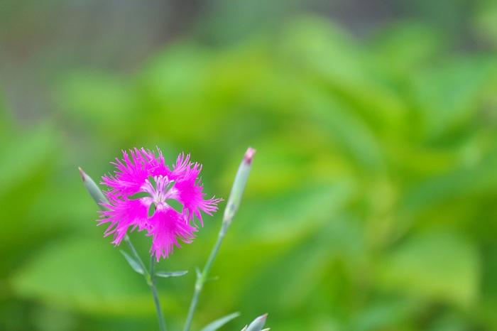 撫子 秋の七草
