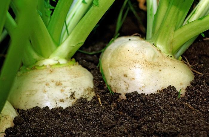 カブはアブラナ科の野菜です。大根と同じく根を食べる根菜です。大根と違って根が球形で、辛みがありません。生でも加熱しても食べられます。加熱したカブは甘みが増しておいしくなります。