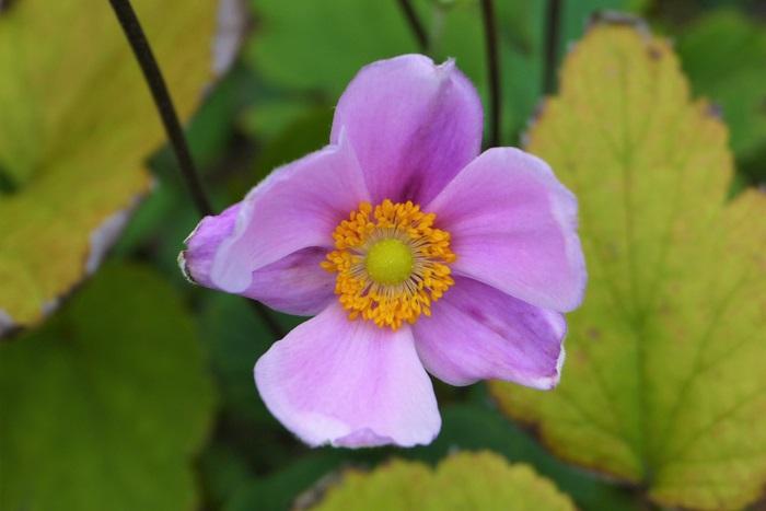 シュウメイギク(秋明菊)の花が咲くのは9月~11月、夏が終わり初秋の風が吹き始めた頃から咲き始めます。まだ夏の名残を感じるような暑さの頃から咲き始め、コートを羽織りたくなるくらい寒くなるまで咲き続けます。  シュウメイギク(秋明菊)はコスモスと同じように秋を代表する花です。秋の風にそよぐように咲く姿には風情があります。