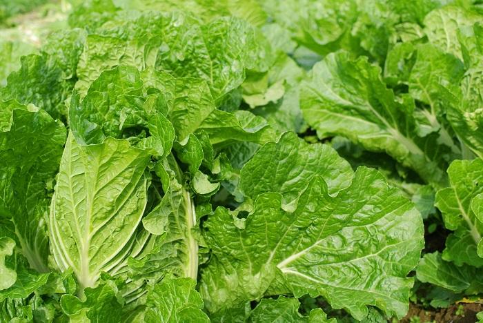 白菜はお鍋料理には欠かせない、冬を代表する野菜です。植え付けから収穫までの期間が短いのも魅力です。