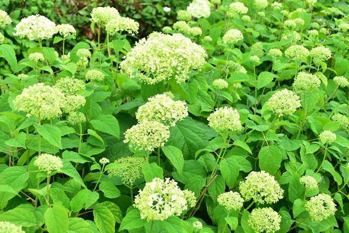 花期:6月~7月 樹高:1m~2m アナベルはセイヨウアジサイやアメリカアジサイと呼ばれる、アジサイの仲間の落葉樹です。アナベルの花は咲き始めは真白、咲き進むに従ってグリーンに変化していきます。アナベルの花はドライフラワーとしても人気です。