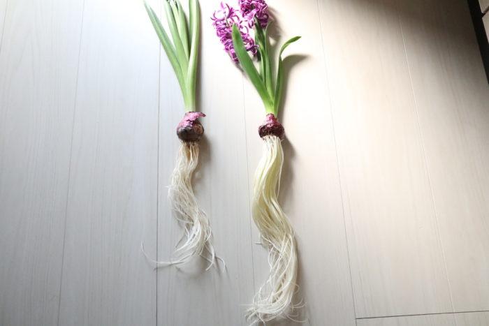 ちなみに上の写真は、左がメネデール未使用、右がメネデールを使用して育てたヒヤシンス。根の量にこんなにも違いがでます!