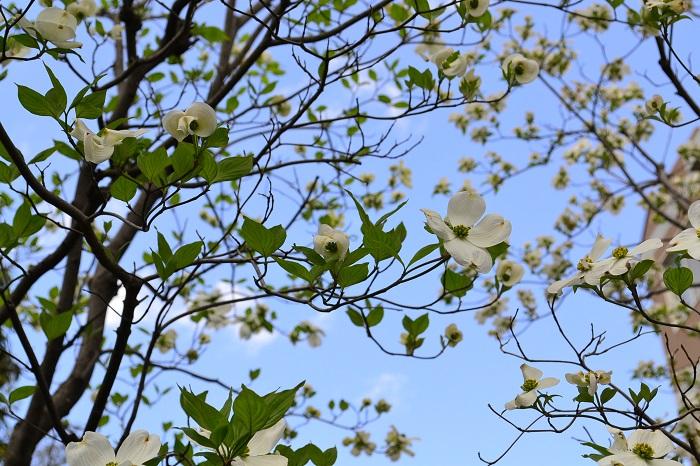 ソメイヨシノが散り始めた頃に開花するハナミズキ。春の花、夏の葉、秋の紅葉と赤い果実と、四季を通して美しい落葉樹です。花色は白、ピンクなどがあります。