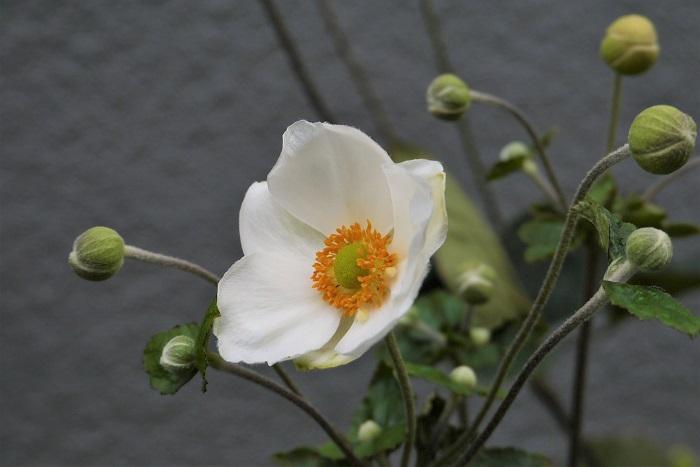 シュウメイギク(秋明菊)の植え付け、用土 シュウメイギク(秋明菊)は乾燥に弱く、明るい半日陰を好みます。落葉樹の下や、午後の西日を避けられるような場所が向いています。株の上の方は日が当たり、株元は日陰になるような場所も向いています。  シュウメイギク(秋明菊)は水はけ、保水性が共によく、肥沃な土壌を好みます。植え付け時にたっぷりと腐葉土を漉き込むようにしましょう。  鉢植えのシュウメイギク(秋明菊)は市販の園芸用培養土で問題なく育ちます。  シュウメイギク(秋明菊)の水やり シュウメイギク(秋明菊)は乾燥が苦手です。土の表面が乾いたら、早めに水やりをしましょう。乾燥すると葉の外側から茶色くなっていきます。  鉢植えのシュウメイギク(秋明菊)は表土が乾いたらたっぷりと水やりをしましょう。  シュウメイギク(秋明菊)の肥料 花が終わったらお礼肥として緩効性肥料を与えます。肥料の与えすぎは葉ばかり繁って、花が咲かない原因にもなります。  シュウメイギク(秋明菊)の病害虫と対処法 風通しが悪いとうどんこ病が発生しやすくなります。混み合った葉は整理して風通しがよくなるように管理しましょう。アブラムシが付くことがあります。見つけ次第薬剤を散布するなどして駆除してください。