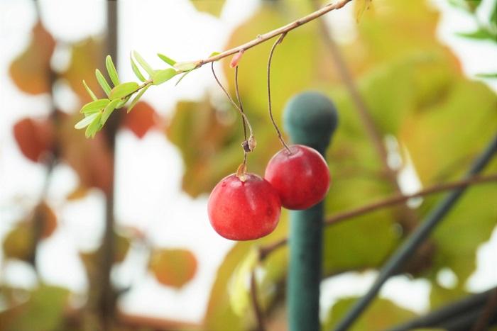 学名:Vaccinium oxycoccos(ツルコケモモ)、Vaccinium macrocarpon(オオミノツルコケモモ) 科名、属名:ツツジ科スノキ属 英名:cranberry,bearberry 分類:常緑低木 クランベリーの特徴 クランベリーはヨーロッパ北部、日本を含むアジア北東部、北アメリカなどに自生する常緑のほふく性低木です。低木といっても枝を上に伸ばすのではなく、地際を這うように生長させるほふく性の低木です。つる植物のように、周囲の木に絡みつくこともありません。  クランベリーの和名 クランベリーの和名は、ツルコケモモ、オオミノツルコケモモです。どちらもほふく性常緑低木で、真赤な果実を実らせます。  ツルコケモモは果実の直径が6~10mm程度と小さめ、オオミノツルコケモモは果実の直径が10~20mm程度と大きく、観賞価値も高いことから鉢植えとして広く流通しています。  園芸店やホームセンターなどでクランベリーとして販売されているものの多くは、オオミノツルコケモモです。
