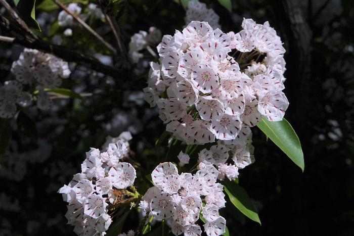 花期:5月~6月 樹高:1m~3m カルミアは初夏に星形の可愛らしい花を咲かせる落葉樹です。カルミアは花が終わった後の光沢のあるグリーンの葉もきれいです。