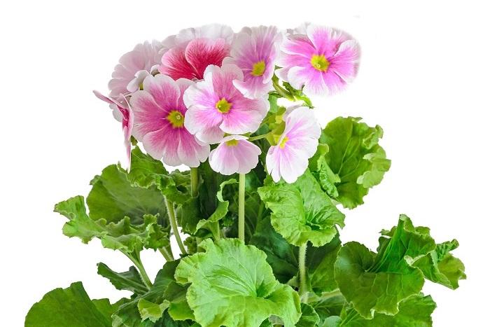 学名:Primula obconica 花期:2月~5月 プリムラ・オブコニカは、葉の間から伸びた花茎の先にマラコイデスよりも大輪の花を毬のように集合させて咲かせます。花色は赤、ピンク、白、オレンジ、紫、またそれらの覆輪などがあります。  オブコニカは、葉や茎を折った時に出る物質で肌がかぶれる人もいます。植え替えや手入れの際は手袋を着用するようにしましょう。