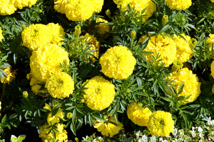 アフリカンマリーゴールドの花言葉 種類 特徴 色別の花言葉 Lovegreen ラブグリーン