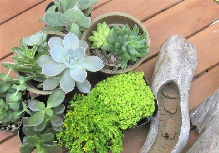 多肉植物は、ぷっくりとした葉にたくさんの水分をたくわえることで乾燥地帯でも生育することができる植物です。